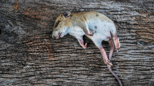 Dead rodent in food industrial premises