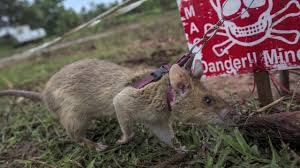 rat sniffing out landmine