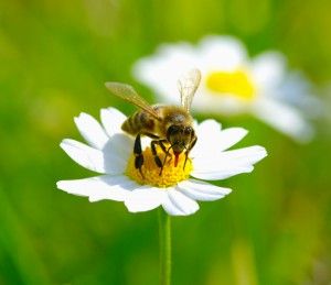 bees, bee removal, bee control, bee hive