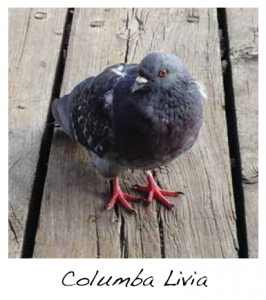 pigeon control, bird control, how to get rid of pigeons, get rid of pigeons, bird identification, feral pigeon, bird proofing, bird repellent