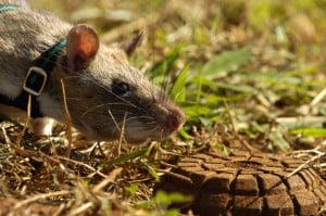 Gambian Pouched Rat sniffing for landmines
