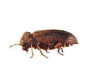common-furniture-beetle