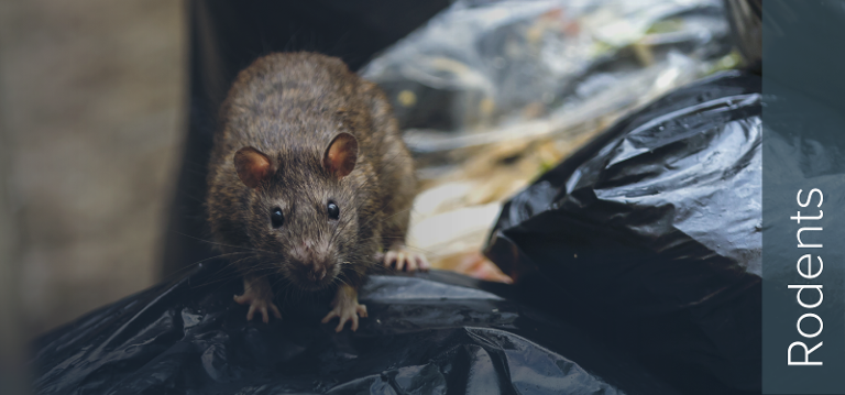 Rodents are the Number 1 Pest Risk to an empty building - Rats and Mice.
