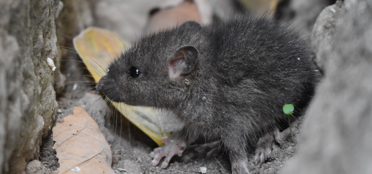A mouse in the house - find out how to resolve an ongoing rodent problem safely with the help of Rentokil South Africa