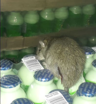 Rodent in cream soda milkshake packs