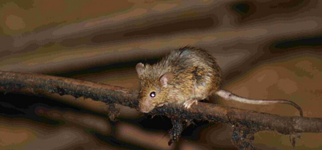 Diseases spread by mice or rats
