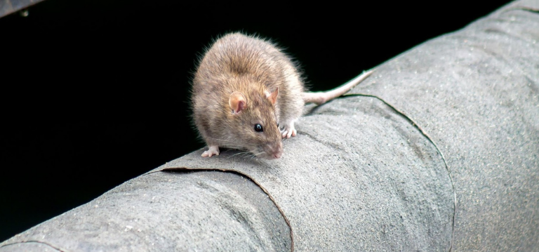 one rat may mean many rats - find out how to control a rodent infestation before it controls you