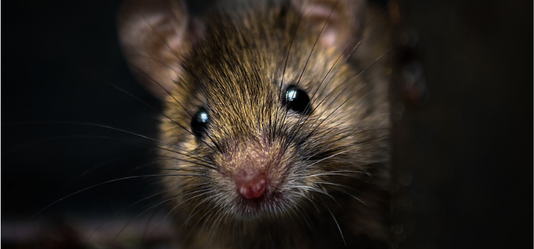 Mice are smaller than rats and can have 7 - 8 litters per year which can result in a serious infestation if not taken care of